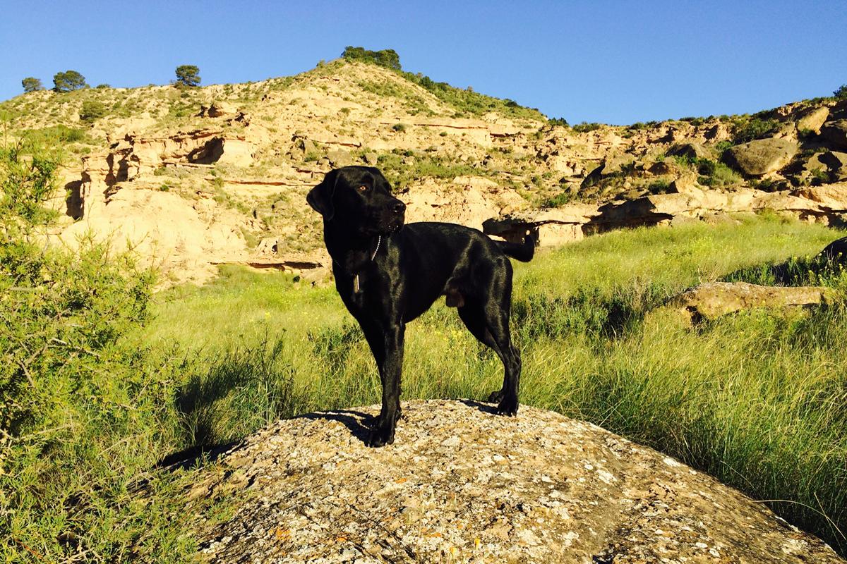 davola-monegros-labrador-champion